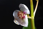 Common Arrowhead (Sagittaria sagittifolia)